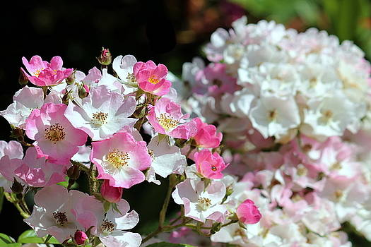 Rosanne Jordan - Tiny Roses