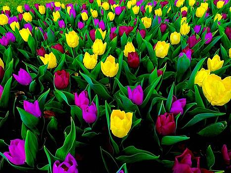 Tip Toe Through The Tulips by Abbie Loyd Kern