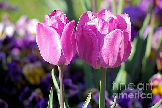 Tip Toe Through The Tulips by John S