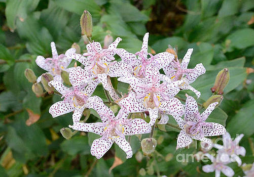 Toad Lily Blossoms Tom Wurl by Tom Wurl