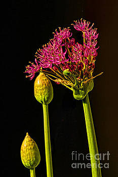 Together Again Natural Allium by Renee Marie Martinez