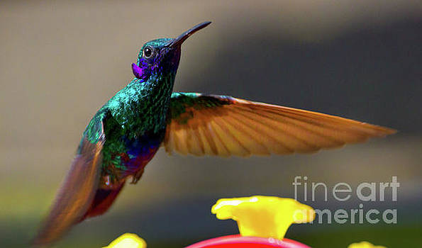 Tom Thumb Is A Sparkling Violetear by Al Bourassa