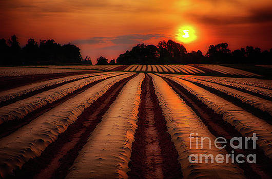 Dan Carmichael - Tomato Crop Field at Sunrise