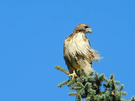 Top of the World Red Tailed Hawk Ohio by Nancy Spirakus