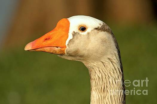 Adam Jewell - Toulouse Goose Close Up