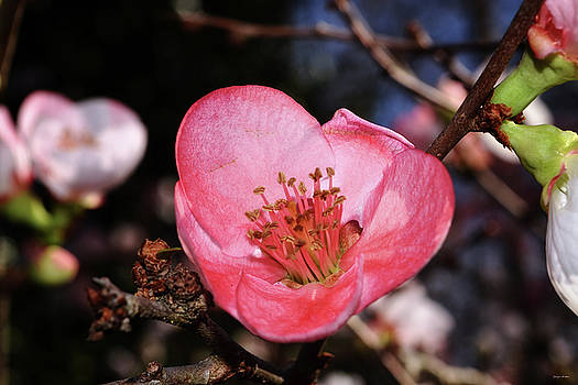 Toyo-nishiki Flowering Quince 004 by George Bostian