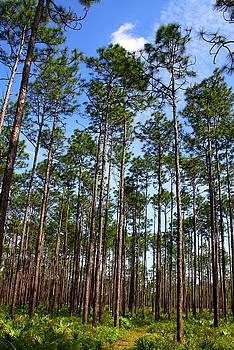 Barbara Bowen - Trail through the pine forest