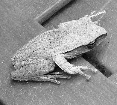 Tree Frog Up Late by Kathy Daxon