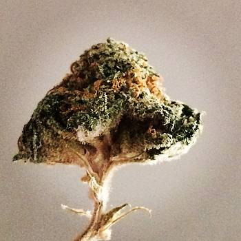 Tree of Cannabis by Christy Miles