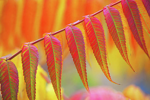 Jenny Rainbow - Tree of Heaven Leaf