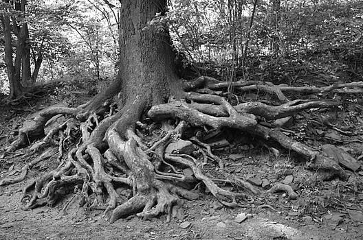 Tree Roots along the Sangamon by Sue Houston