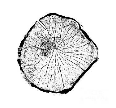 Tree Slice by Tylir Wisdom