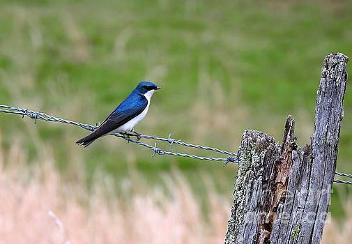 Tree Swallow by Brenda Bostic