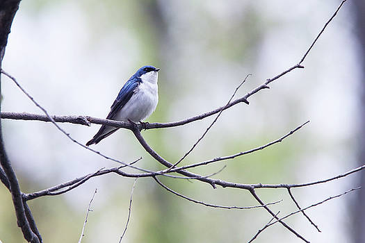 Tree Swallow by David Yunker