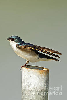 Tree Swallow Prepares for Launch by Natural Focal Point Photography