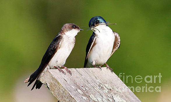 Tree Swallows by Debbie Parker