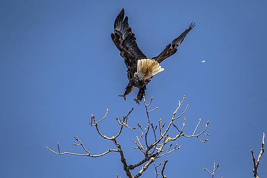 Tree Top Eagle by Ray Congrove