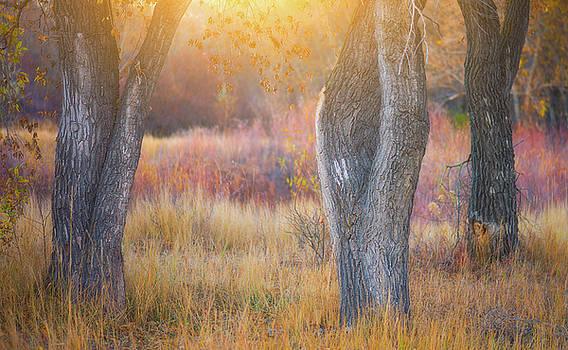 Tree Trunks In The Sunset Light by Darren White
