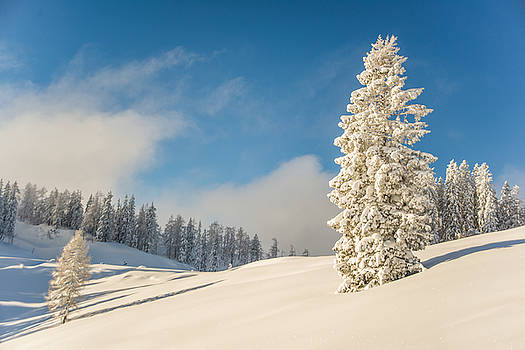 Trees in snow by Enrico Ackermann