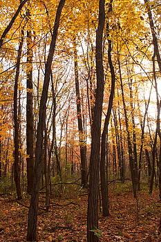 Trees Yellow by Amanda Kiplinger