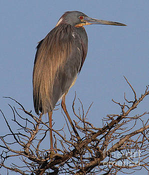Tri Color Heron by Roger Becker