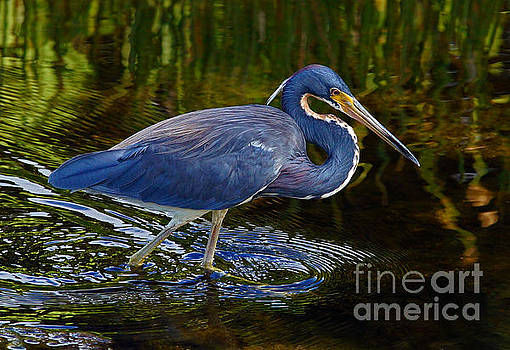 Tricolor Heron by Larry Nieland