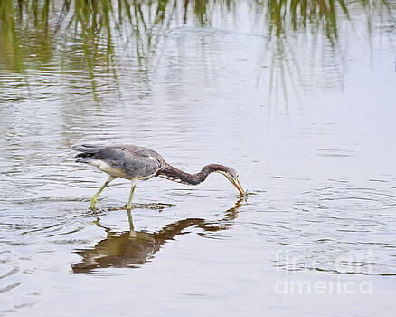Tricolored Heron Grabs A Bite by Kerri Farley