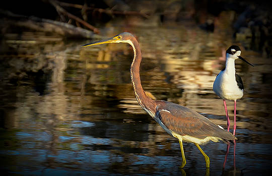 Tricolored Heron by Kerry Hauser