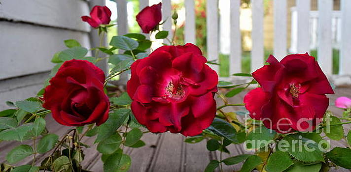 Triple Morning Rose by Justin Moore