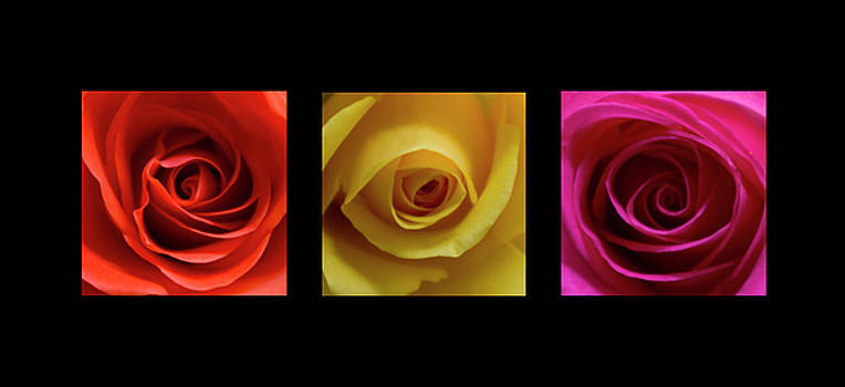 Triptych Roses by Pixie Copley