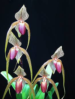 Tropical Lady Slipper 2 by Shirley Sirois