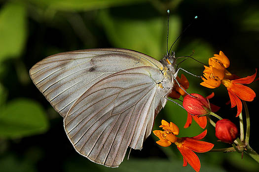 Tropical White Butterfly by April Wietrecki Green