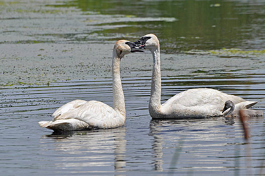 Trumpeter Swan Family by Peter McIntosh