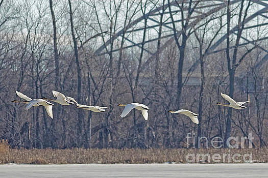 Trumpeter Swan in Flight by Natural Focal Point Photography