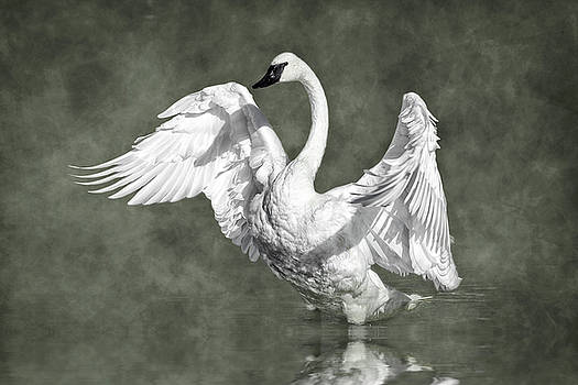 Trumpeter Swan in the Fog D7431 by Wes and Dotty Weber