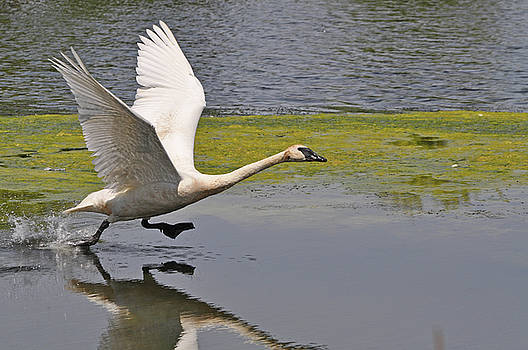 Trumpeter Swan Take Off by Peter McIntosh