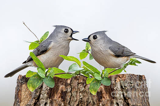 Tufted Titmice by Bonnie Barry