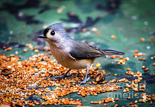 Tufted Titmouse  by JW Hanley