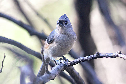 Tufted Titmouse by Trina Ansel