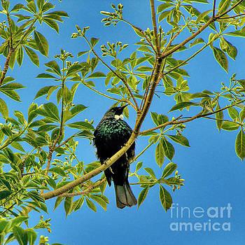 Tui Bird by Karen Lewis