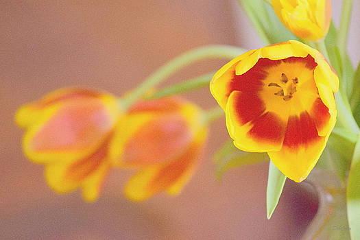 Tulip Beauty by Deborah  Crew-Johnson