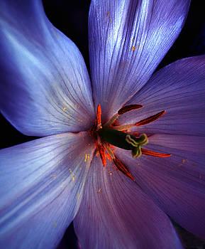 Tulip Convert by Gwyn Newcombe