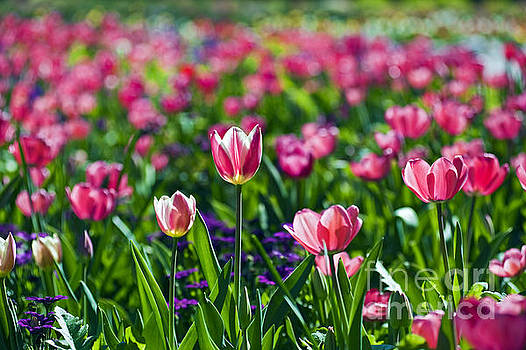 David Zanzinger - Tulip Field Pink and White