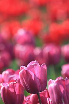 Tulip Field by Sarah Vandenbusch