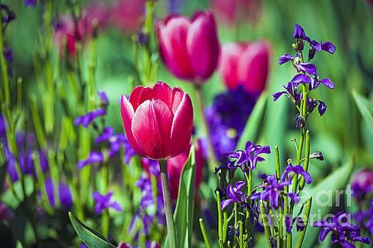 David Zanzinger - Tulip Flowers
