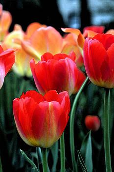 Carolyn Stagger Cokley - tulip garden