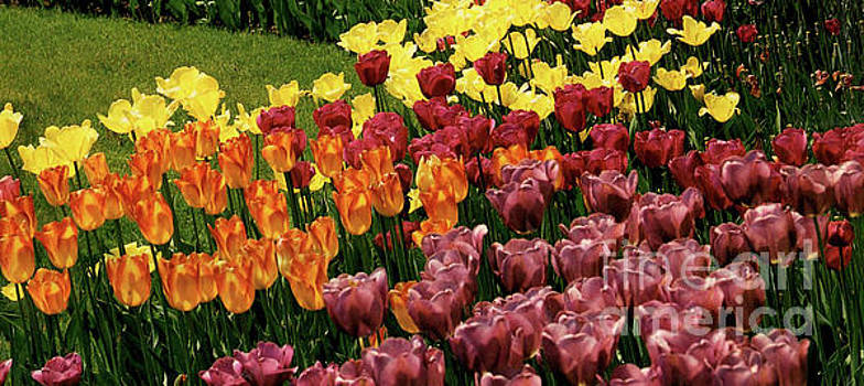 Tulip Garden by Ruth Housley