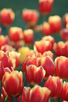 Tulip Garden by Sarah Vandenbusch
