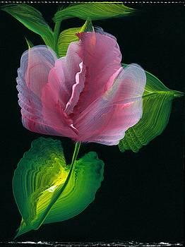 Tulip On Black Background by Valerie Vanorden