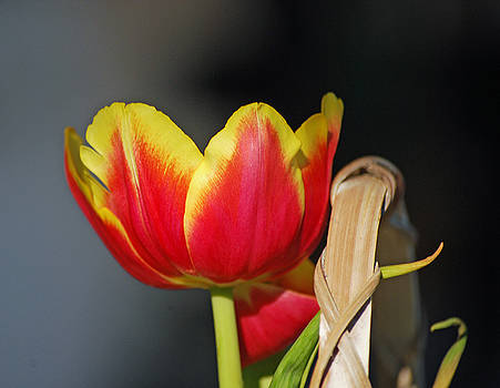 Tulip by Peter  McIntosh
